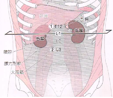 HP 腎臓の位置①.png